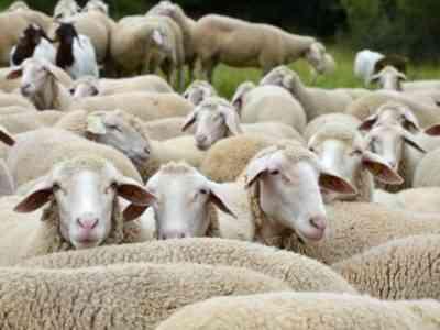 Западно-сибирская овца