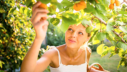 Girl collects apricots from the tree