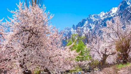 Apricots blooming in the Hunza Valley