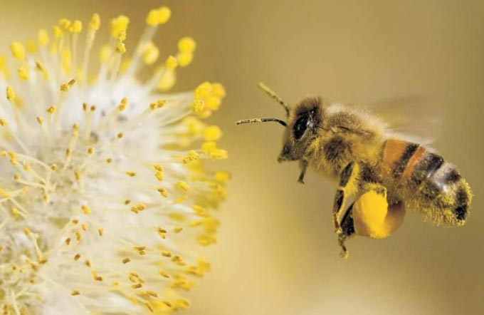 bee with pollen