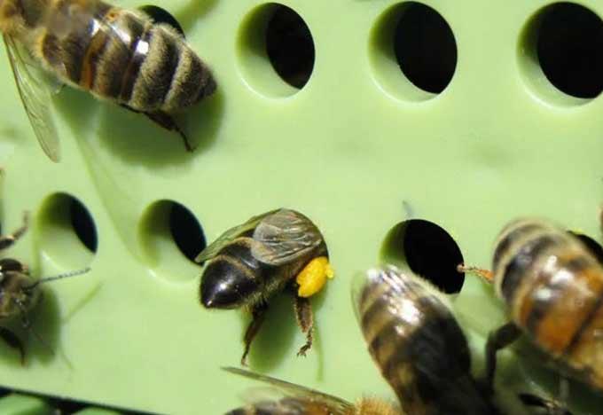 pollen trap in operation