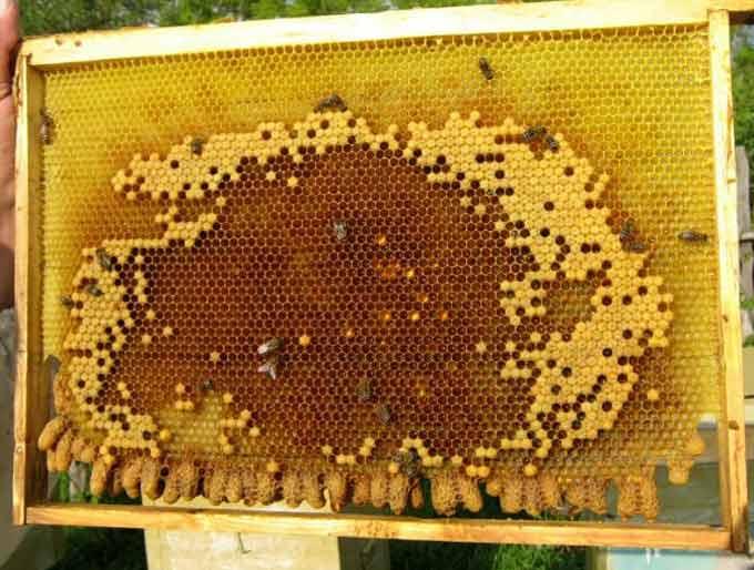 swarming queen cells