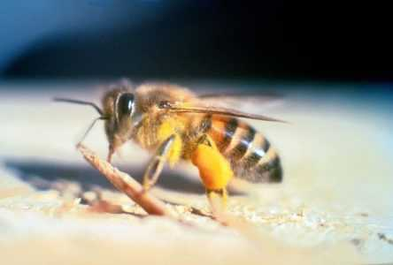 African killer bees and why they are dangerous