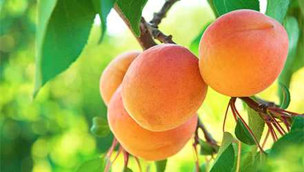 Apricot benefits, properties, calorie content, useful properties and harm