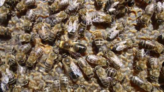 Bee breeds and the distinctive characteristics of different types of bees