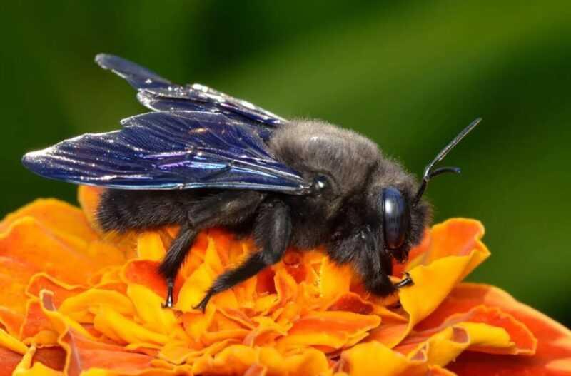 Bee carpenter: description, lifestyle and habitat