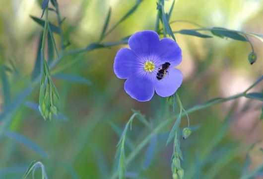 Benefits of flax as a honey plant