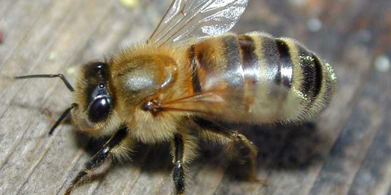 Carpathian breed of bees: features of the content