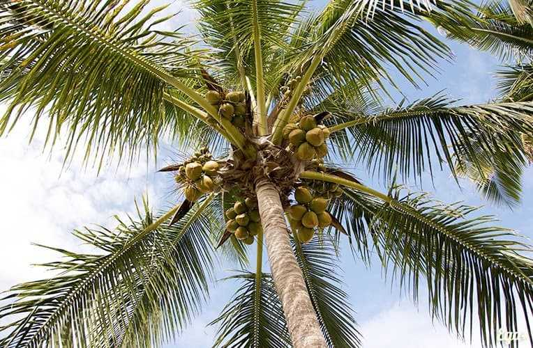 Coconuts, Calories, benefits and harms, Useful properties