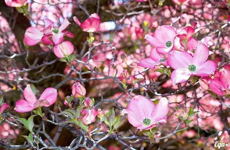 Dogwood, Calories, benefits and harms, Useful properties