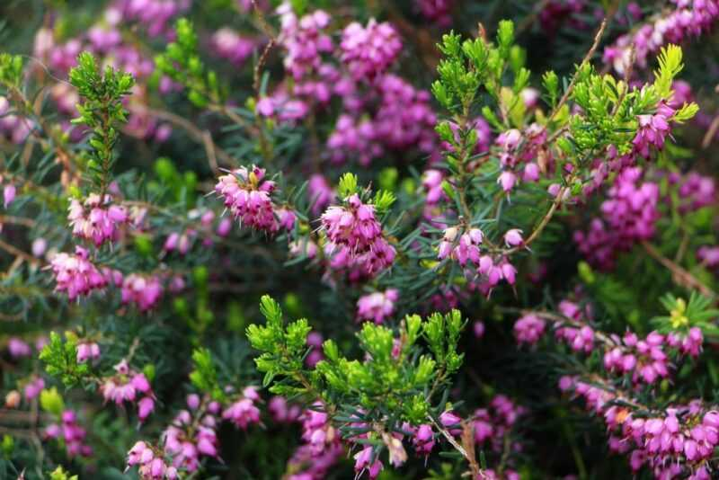 Heather honey and how to prepare it