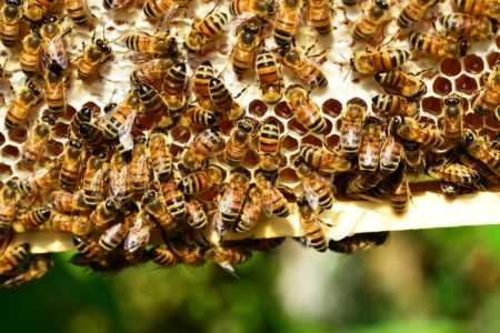 How do bees make honey and why?