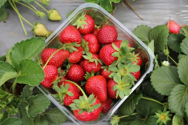 How to grow strawberries hydroponically at home