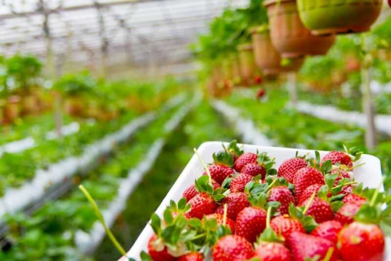 How to make a hydroponic solution for growing strawberries