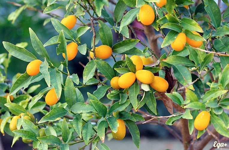 Kumquat, Calories, benefits and harms, Useful properties