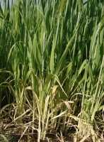 Macronutrient nitrogen. Functions. Signs of Deficiency and Excess – Hydroponics