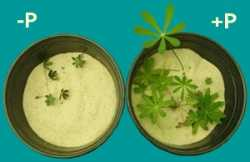 Macronutrient phosphorus. Functions. Signs of Deficiency and Excess – Hydroponics