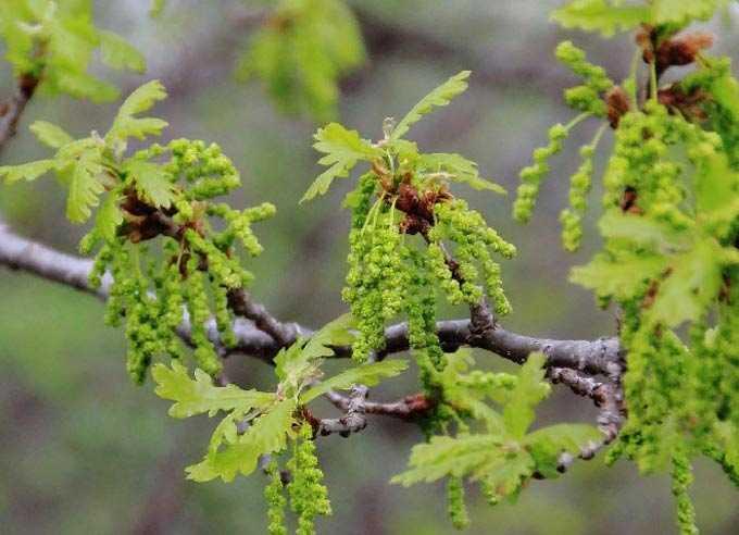Oak as a melliferous plant