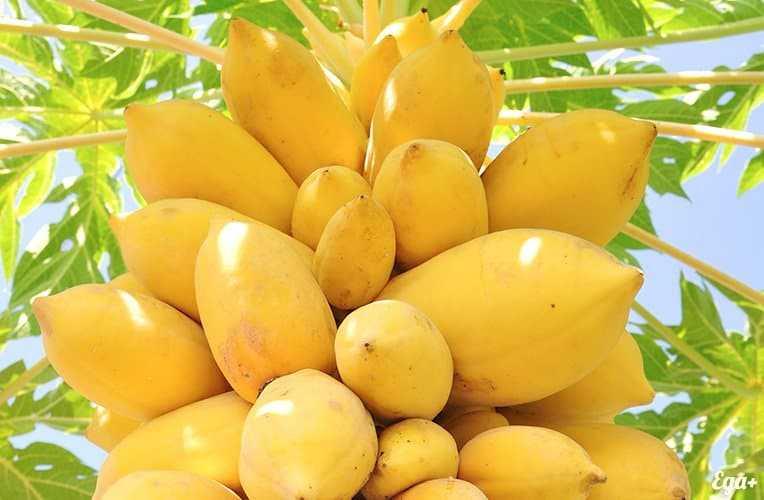 Papaya, Calories, benefits and harms, Benefits