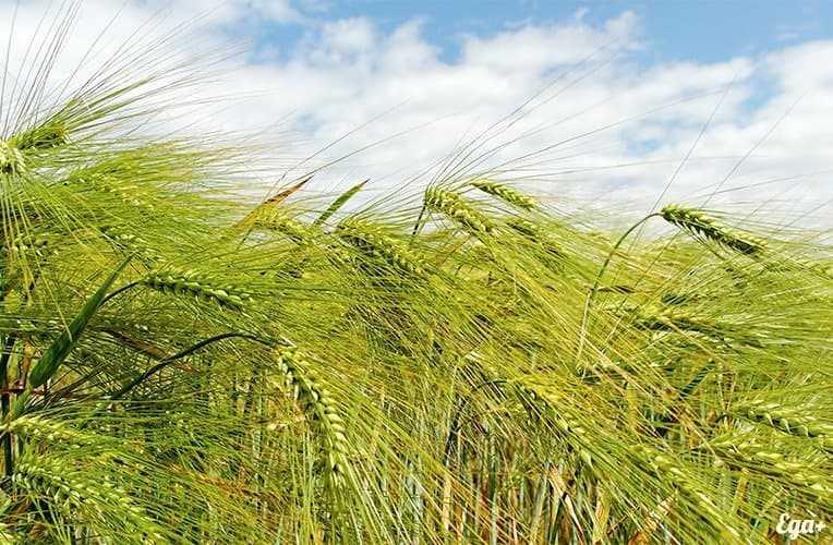 Pearl barley, Calories, benefits and harms, Useful properties