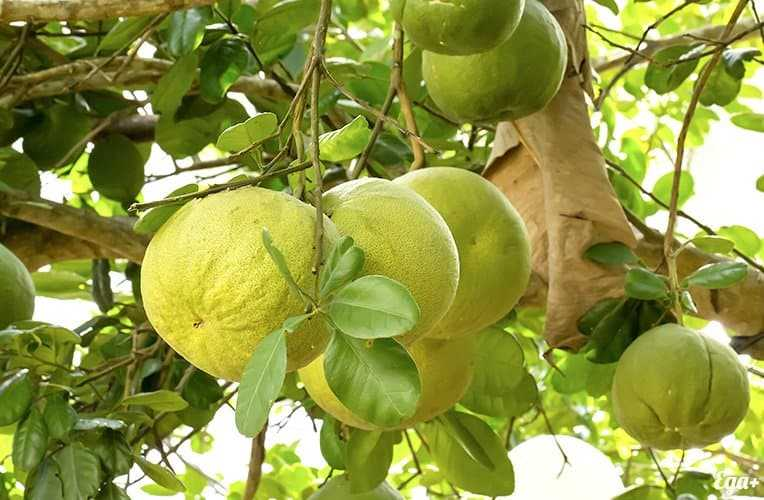 Pomelo, Calories, benefits and harms, Useful properties