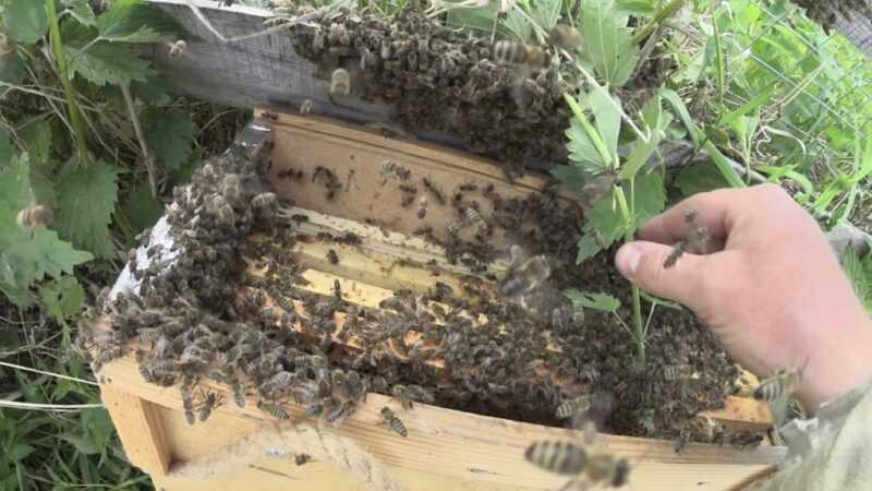Swarm of bees: how to catch and how to lure