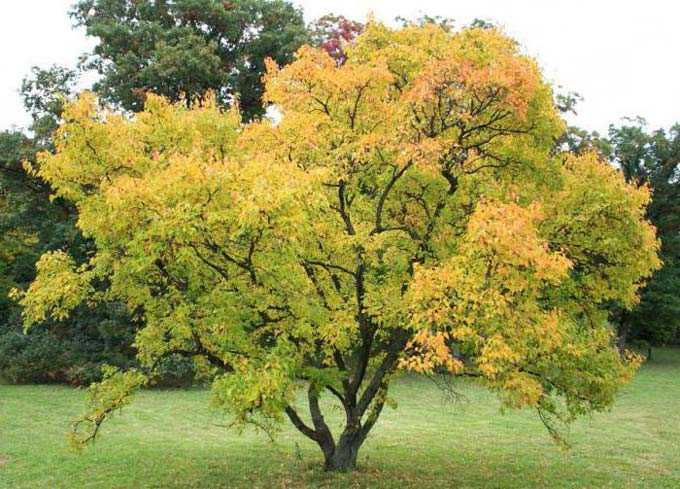 The benefits of maples as honey plants