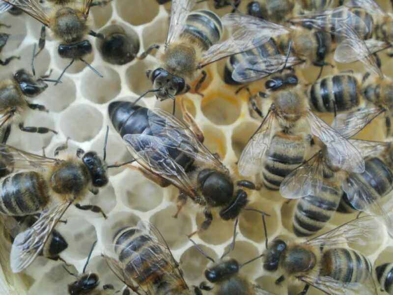 The breed of Karnika bees and their peculiarity