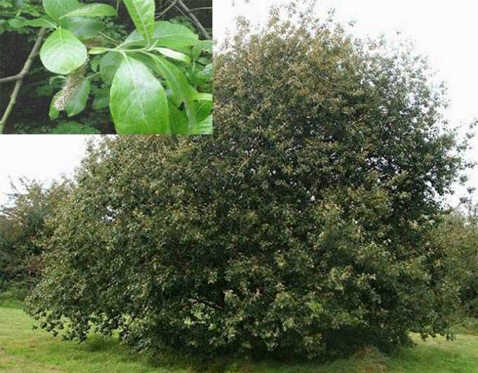 The value of willow (willow) as a honey plant