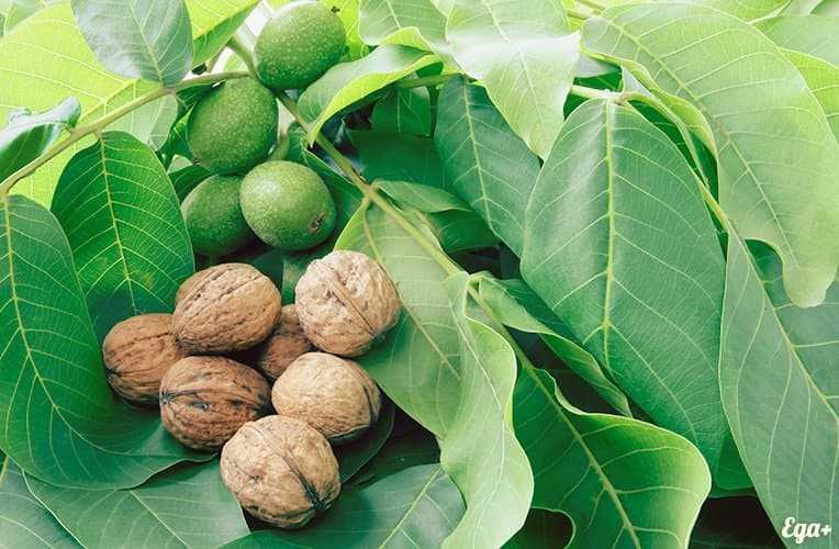 Walnut, Calories, benefits and harms, Useful properties