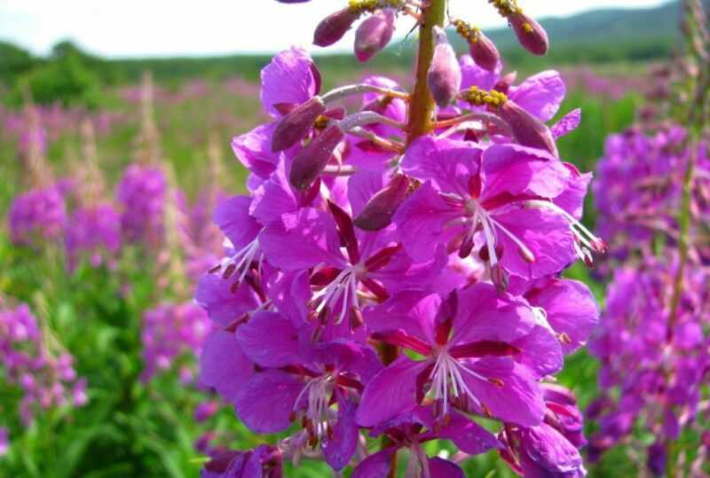 White fireweed honey – what is it, useful properties and contraindications