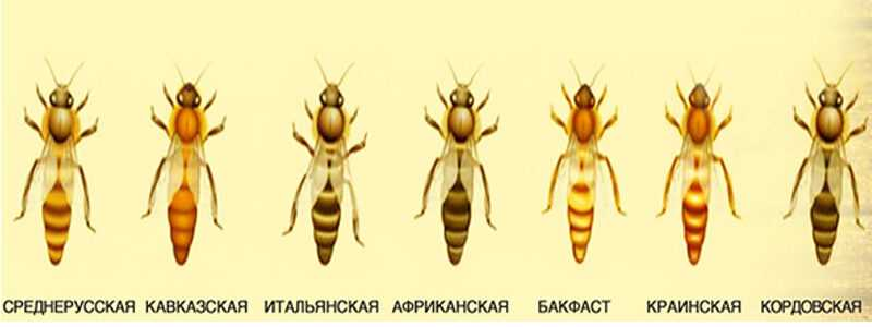 Who is a honey bee?