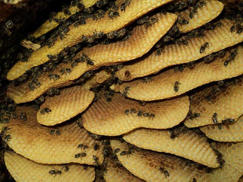 Wild honey: where is it harvested, beetle honey