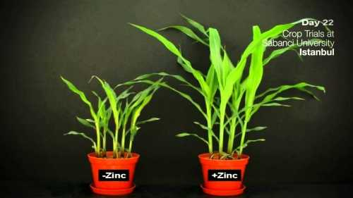 Zinc trace element. Functions. Signs of Deficiency and Excess – Hydroponics