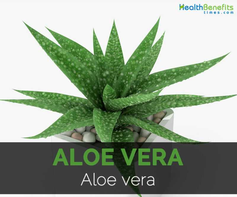 Aloe benefits, properties, calorie content, useful properties and harm