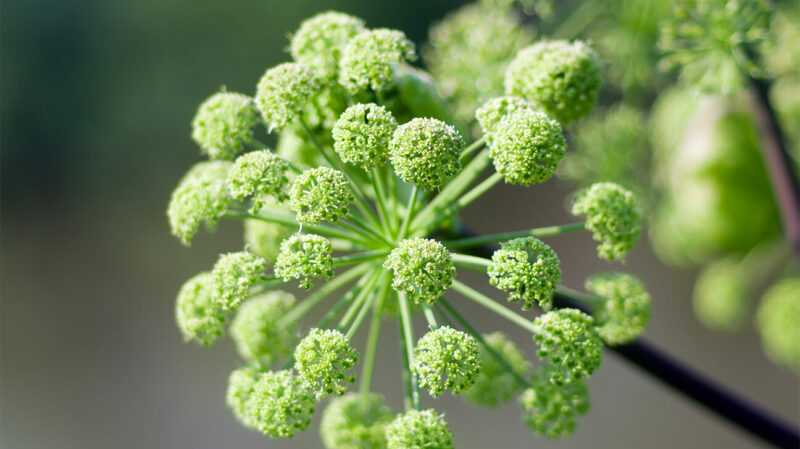 Angelica, Calories, benefits and harms, Useful properties