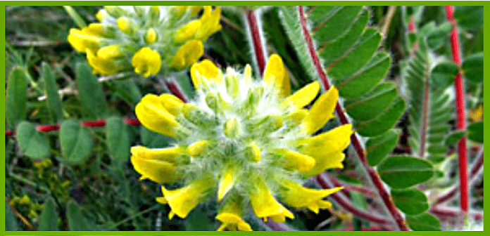 Astragalus wool-flowered benefits, properties, calorie content, useful properties and harm