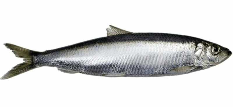 Baltic herring, Calories, benefits and harms, Useful properties