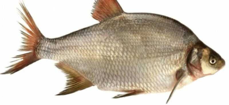 Bream, Calories, benefits and harms, Useful properties