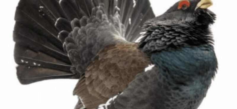Capercaillie, Calories, benefits and harms, Useful properties
