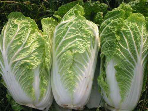 Chinese cabbage, Calories, benefits and harm, Useful properties