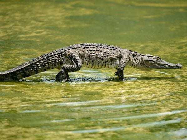 Crocodile, Calories, benefits and harms, Useful properties