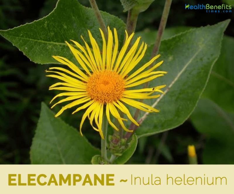 Elecampane, Calories, benefits and harms, Useful properties