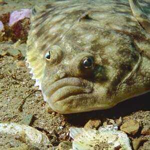 Flounder, Calories, benefits and harms, Useful properties