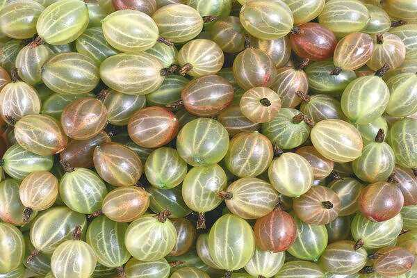 Gooseberry, Calories, benefits and harms, Useful properties