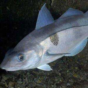Haddock, Calories, benefits and harms, Useful properties