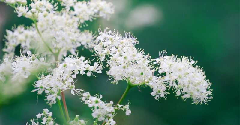 Meadowsweet or Meadowsweet, Calories, benefits and harms, Useful properties