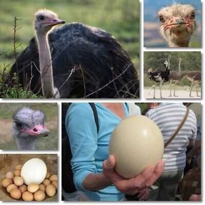 Ostrich egg, Calories, benefits and harms, Useful properties