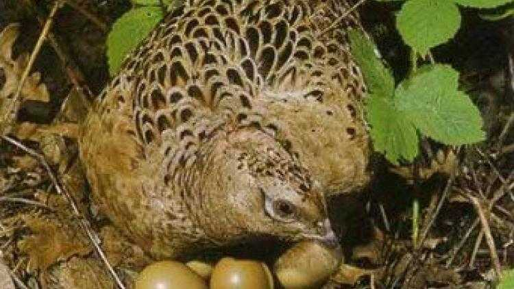 Pheasant eggs, Calories, benefits and harms, Useful properties