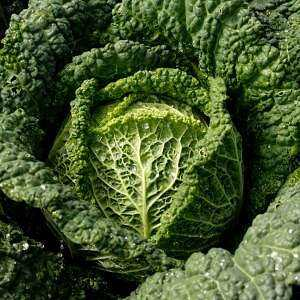Savoy cabbage, Calories, benefits and harms, Useful properties